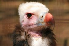 Free Vulture Stock Image - 2289351