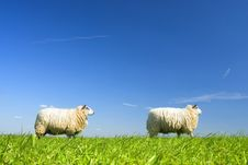 Free Two Sheep Walking By On Grass Stock Images - 2289364