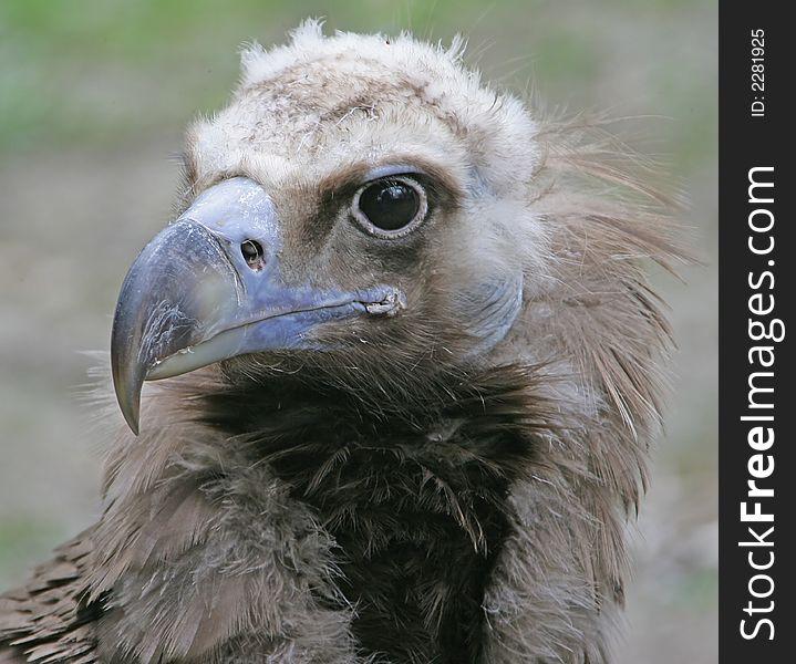 Eurasian Black Vulture 2