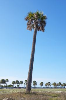 Free Slanted Palm Tree Stock Photography - 22804972