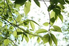 Free Spring Leaves Royalty Free Stock Photo - 22814435