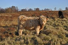 Free Highland Cow Stock Images - 22815274