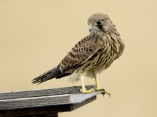 Free Common Kestrel Bird Royalty Free Stock Photography - 22818087