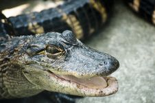 Free Alligator Stock Photos - 22818573