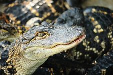 Free Alligator Royalty Free Stock Photography - 22818597