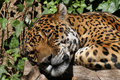 Free Jaguar Stock Image - 22825701