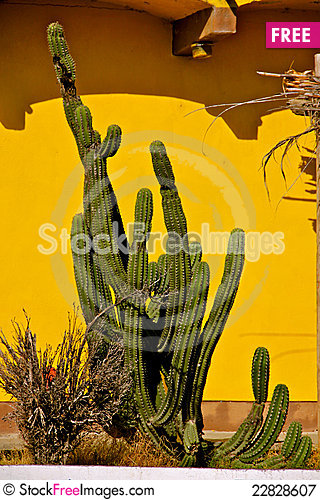 Free Cactus Royalty Free Stock Photography - 22828607