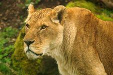 Free Panthera Leo Somaliensis Royalty Free Stock Image - 22821876