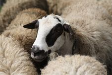 Free Sheep Royalty Free Stock Photo - 22824355