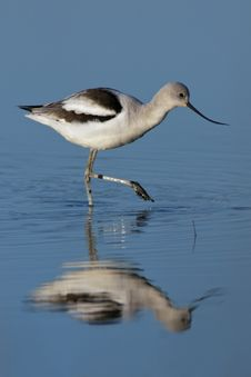 Free American Avocet Stock Photo - 22824420