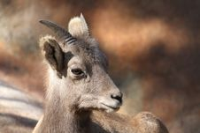 Free Mountain Sheep Stock Photo - 22825580