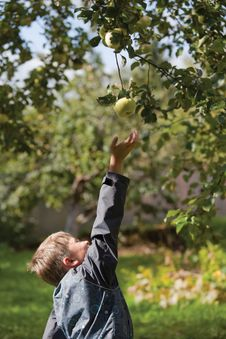 A Boy Gathering Apples In The Garden Royalty Free Stock Photography