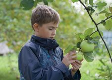 A Boy Checking Apple Stock Photography