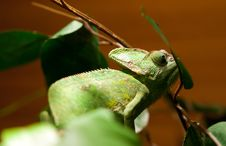 Green Lizard Iguana On A Tree Branch Royalty Free Stock Photography