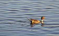 Free Swimming Male Pintail Duck, &x28;Anas Acuta&x29; Royalty Free Stock Images - 22830029