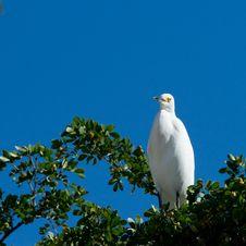 Free Great White Egret Stock Photos - 22847713