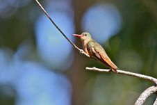 Free Cinnamon Hummingbird Royalty Free Stock Image - 22851196