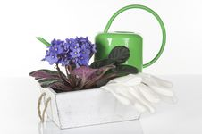 Concept Still Life With Violet Viola, Watering Royalty Free Stock Images