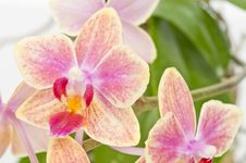 Free Flower Of Blooming  Phalaenopsis Orchid Stock Image - 22854401