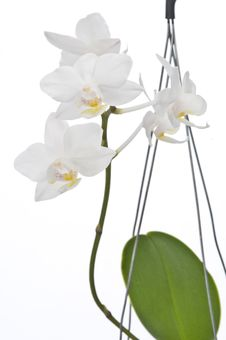 Free Flower Of Blooming  Phalaenopsis Orchid Stock Photography - 22854402