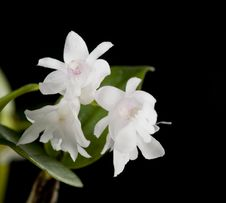 Free Flower Of Blooming  Dendrobium Aberrans Orchid Stock Images - 22854404