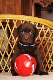 Brown Labrador Puppy Portrait Stock Photo