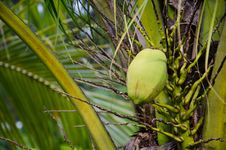Free Green Coconut At Tree Royalty Free Stock Image - 22865206