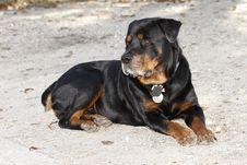 Free Rottweiler Royalty Free Stock Photos - 22867138
