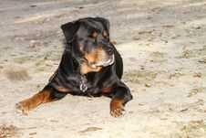 Rottweiler Stock Photography