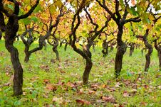 Free Vines Royalty Free Stock Image - 22873776