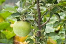Free Green Apples Royalty Free Stock Photos - 22876228