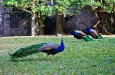 Male Peacocks Royalty Free Stock Photography