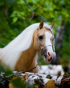 Free Welsh Horse In Wood Royalty Free Stock Photo - 22883895