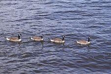 Free Canada Geese - Branta Canadensis Royalty Free Stock Images - 22885429