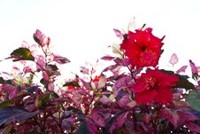 Red Hibiscus Flowers. Stock Photos