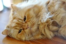 Free Orange Cat Royalty Free Stock Image - 22888396