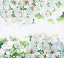 Free Flowers Of The Cherry Blossoms Royalty Free Stock Photos - 22888418