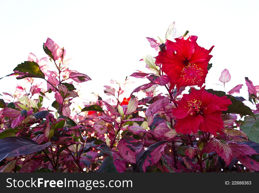 Red hibiscus flowers.