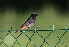 Free Black Redstart Bird Stock Photos - 22891893