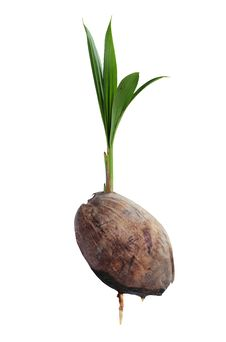 Free Coconut Seedlings Royalty Free Stock Photos - 22895938