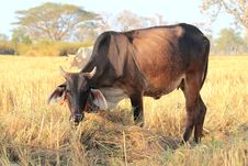 Free Cows Stock Photos - 22898433