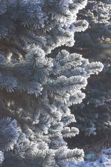 Free Snow-covered Firtree Stock Photos - 22898763