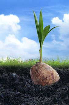 Free Coconut Seedlings Royalty Free Stock Photos - 22899848