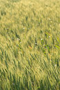 Free Field Of Grain Stock Photography - 2290972