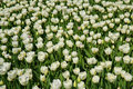 Free Dutch Tulips Stock Images - 2292314
