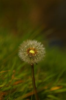 Free Dandelion Royalty Free Stock Images - 2290439