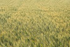 Free Field Of Grain Royalty Free Stock Image - 2290976