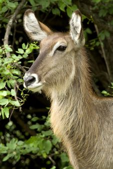 Free Female Waterbuck Royalty Free Stock Images - 2291689