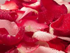 Free Rose Petals Royalty Free Stock Images - 2291979