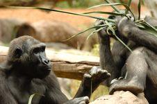 Free Ape Eating Royalty Free Stock Photos - 2292158